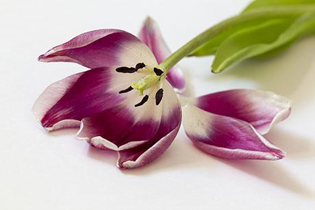 tulip with petals fallen